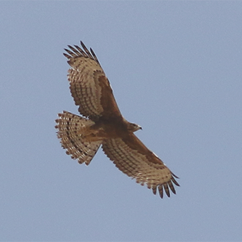 First-summer adult Oriental Honey-buzzard