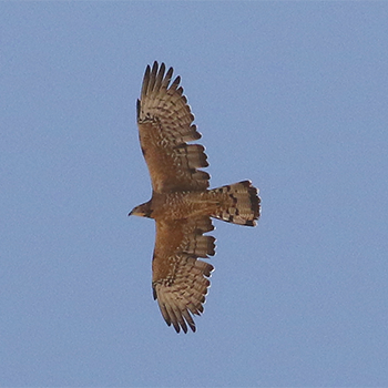 Adult female Oriental Honey-buzzard
