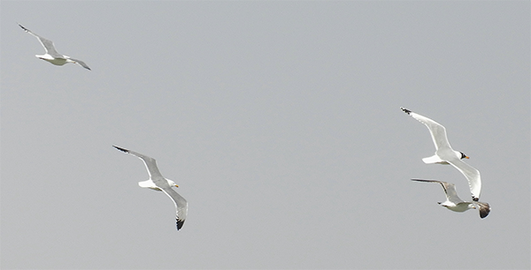 Pallas's and 'Steppe' Lesser Black-backed Gulls