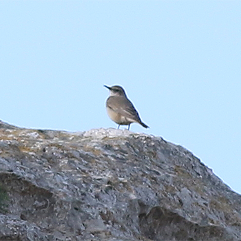 Red-tailed (Persian) Wheatear