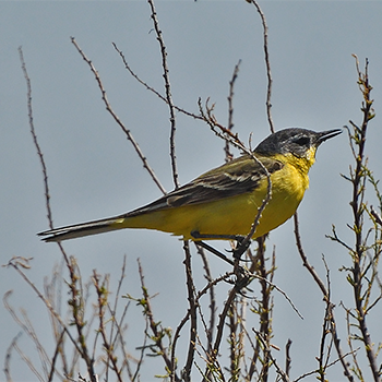 Western Yellow Wagtail hybrid