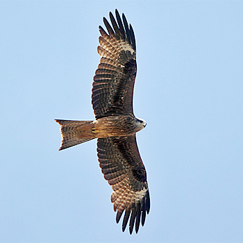 Black (-eared) Kite