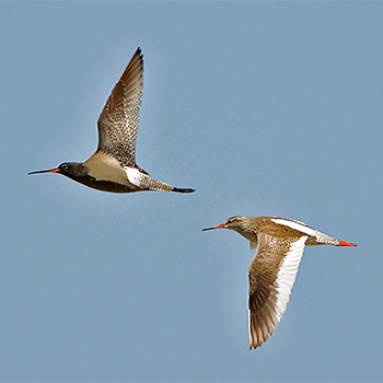 Common and Spotted Redshanks