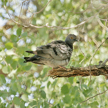Pale-backed Pigeon