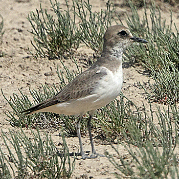 Greater Sandplover (female)