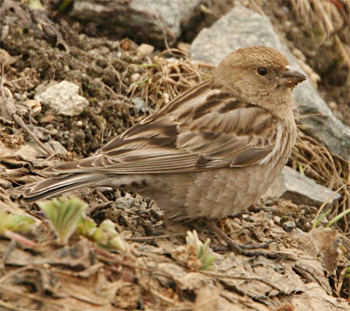 Hodgson's Mountain-finch