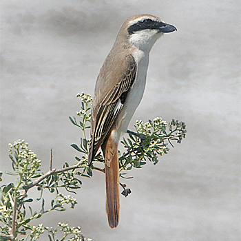 Rufous-tailed (Turkestan) Shrike