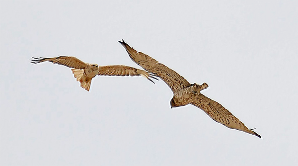 Short-toed Snake-eagle with Long-legged Buzzard