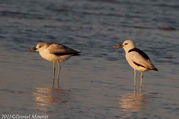 Crab Plovers