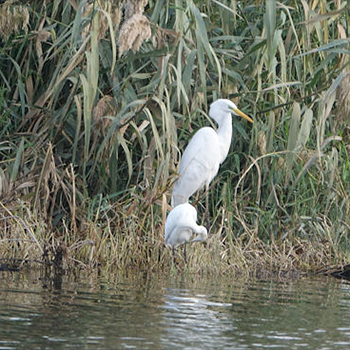 Great and Little Egrets