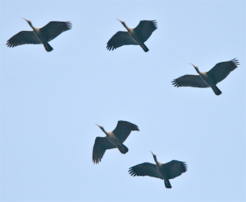 Red-naped Ibises