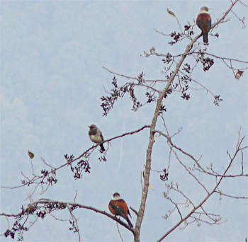 Black-throated and Chestnut Thrushes