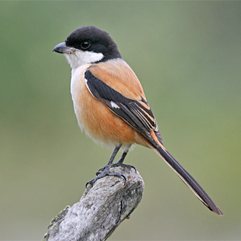 Long-tailed Shrike (<em>longicaudatus)</em>