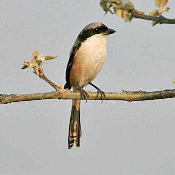 Long-tailed Shrike (<em>erythronotus)</em>