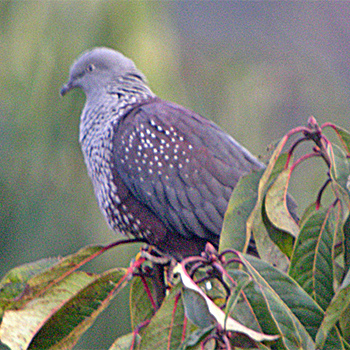 Speckled Wood-pigeon