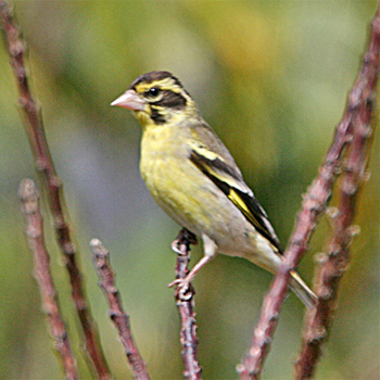 Yellow-breasted Greenfinch