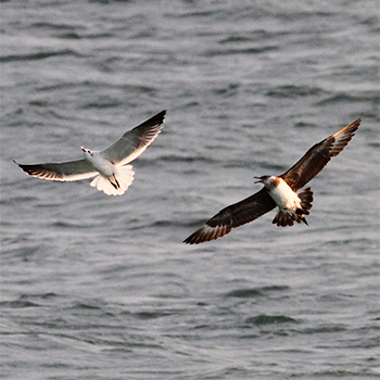 Parasitic Jaeger and Laughing Gull