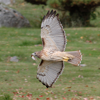 Red-tailed Hawk (with Saltmarsh Sparrow)