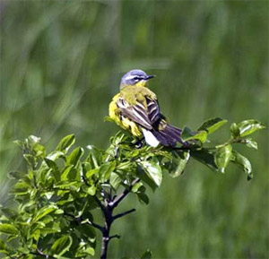 Western Yellow (Blue-headed) Wagtail