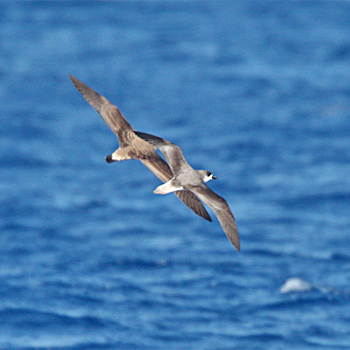 Feas's Petrel and Cory's Shearwater