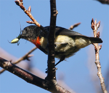 Flame-throated Flowerpecker