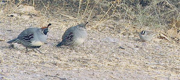 Gambel's Quail and White-crowned Sparrow