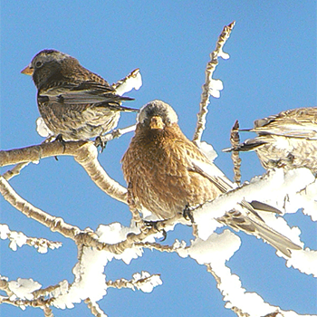 Black and Grey-crowned Rosy-finches