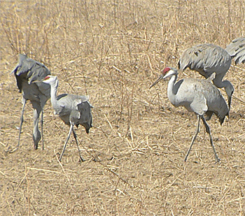 Lesser and Greater Sandhill Cranes