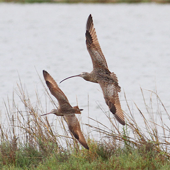 Marbled Godwit and Long-billed Curlew