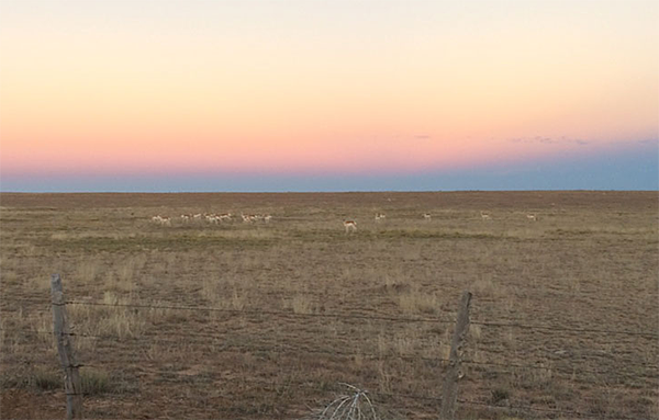 Pronghorns at sunset