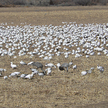 Snow and Ross's Geese and Sandhill Cranes