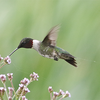 Rudy-throated Hummingbird
