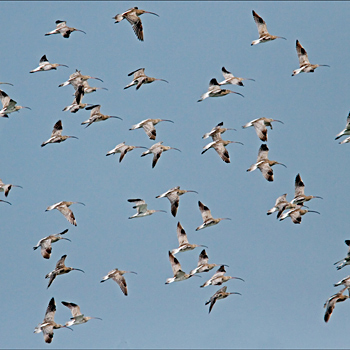 Eurasian Curlews