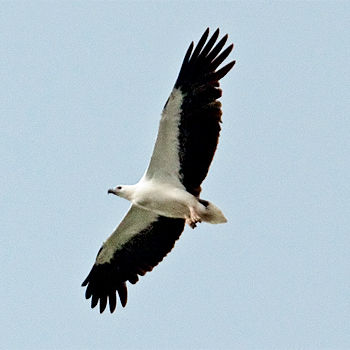 white-bellied-sea-eagle-southern-thailand-jan-2009