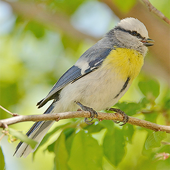 Azure (Yellow-breasted) Tit