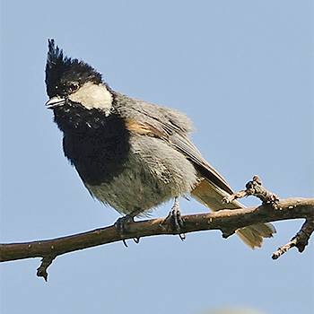 Black-breasted Tit