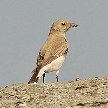 Finsch's Wheatear (female)