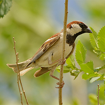House (Indian) Sparrow